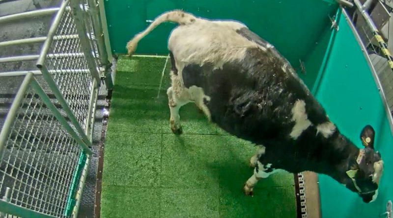 Enseñan a vacas a usar letrinas para reducir emisiones