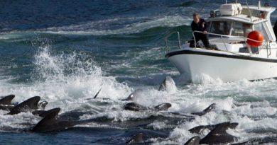 """El enojo en las islas Feroe por la matanza """"récord"""" de más de 1.400 delfines en un día"""