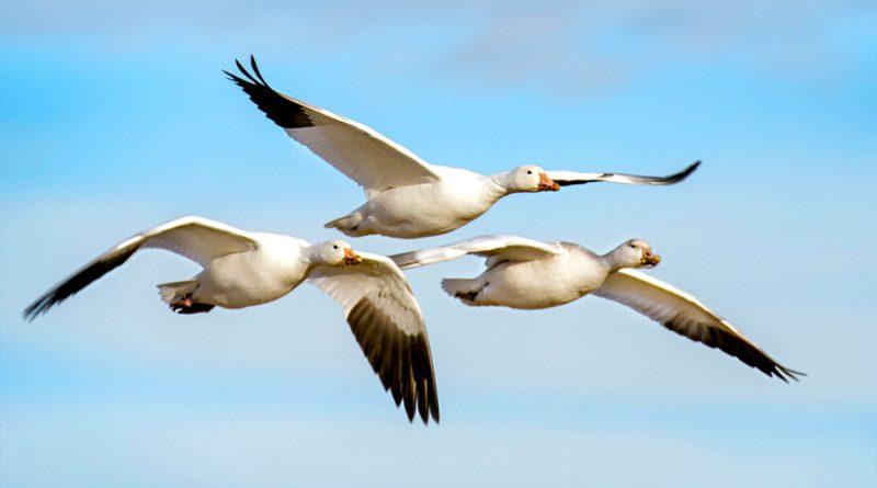 Científicos descubren por qué las aves pueden migrar sin perderse