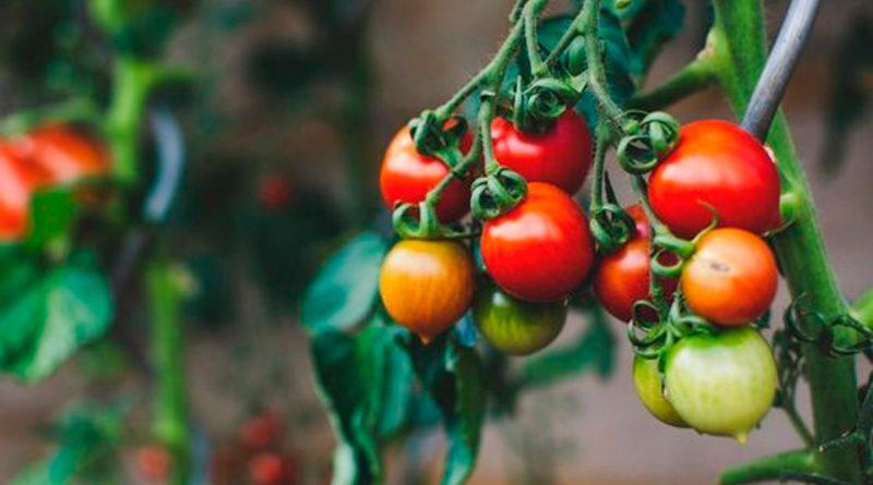 Descubren que los tomates advierten a la planta sobre las plagas