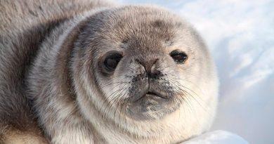 Logran Primera estimación de población de focas en la Antártida por satélite