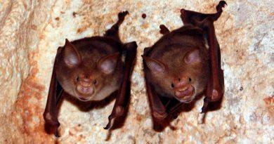 A los murciélagos también les gusta salir a beber con sus amigos