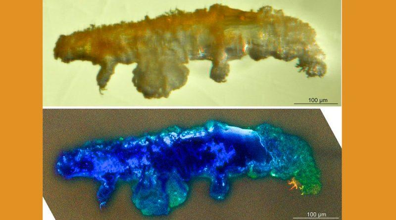 Científicos hallan un fósil de una especie que no supera el milímetro y tiene ocho patas