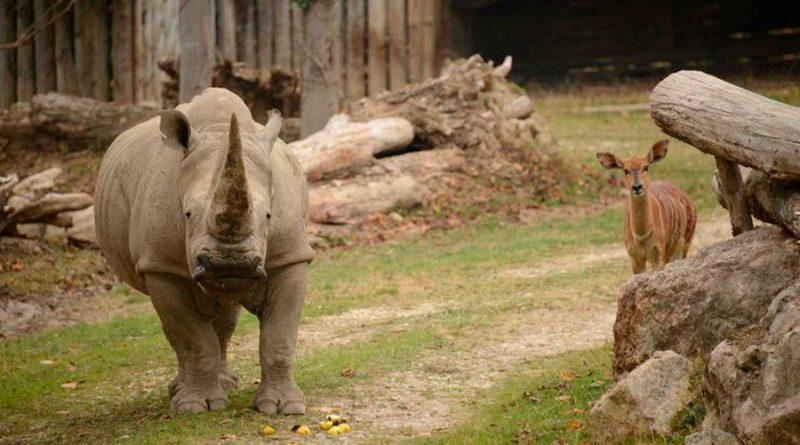 Muere Toby, el rinoceronte blanco más longevo del mundo