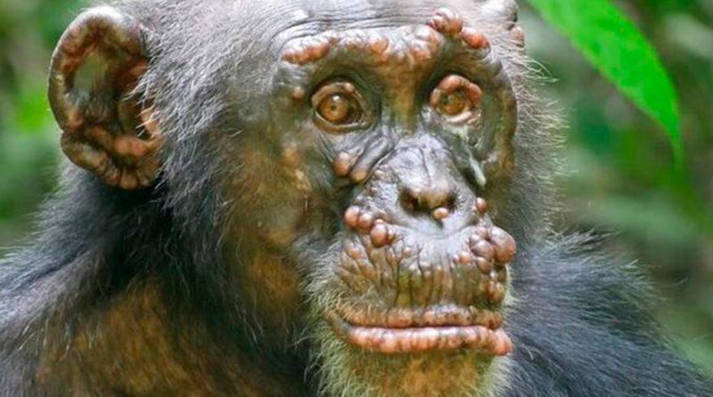 Confirman los primeros casos de lepra en chimpancés salvajes