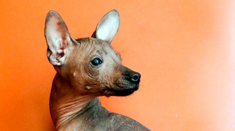 El perro sin pelo de México: de guía de los muertos a una raza popular en todo el mundo