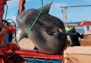 Hallado un pez luna descomunal de más de mil kilos en aguas de Ceuta