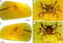 Hallan cangrejo de la era de los dinosaurios preservado en ámbar